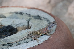 Lizards from my Visit to Boyce Thompson Arboretum (Superior, Arizona - July 13th, 2018) (cseeman) Tags: boycethompsonarboretum boycethompsonarboretumarizona botanicalgardens arboretum publicgardens gardens succulents cactus superior arizona park statepark arizonastatepark universityofarizona desert plants trees flowers arid barbie2018 universityofarizonaarboretum aridland arizonaarboretum lizards reptiles
