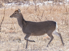 See spot run (Deb Felmey) Tags: assateague deer sika sikadeer animal wildlife