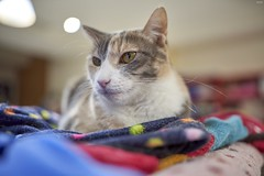 A7R3__DSC2856_C1 (Bazoka+Cynthia) Tags: pupu 小婆 新北市 樹林區 貓 cat