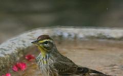Paused For A Pose (ACEZandEIGHTZ) Tags: nikon d3200 macro closeup nature bird backyard birdwatcher wet feathers songbird yellowpalmwarbler setophagapalmarum browncap bath coth alittlebeauty coth5