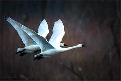 Swan Synchronization (soupie1441) Tags: tundra swan tundraswan aylmer ontario canada migration flight bird animal white nature wildlife nikon d7200 200500mm nikkor