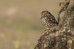 Chevêche d'Athena Little Owl Espagne/Spain Toledo  #owl #littleowl #little #feather #cheveche #athena #cheveched'Athena #nocturne #plume #photo #nikon200500 #nikond500 #nikon #appdln #photo #photography #photographe #photographe #animalier #animaux #anila (swisscore) Tags: feather appdln nikond500 owl photo nikon200500 photographe sauvage plume littleowl nikon outdoor cheveched cheveche nocturne anilam athena animalier photography jewelofnature little animaux wildlife