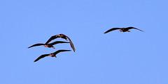 11-12-18-0041910 (Lake Worth) Tags: animal animals bird birds birdwatcher everglades southflorida feathers florida nature outdoor outdoors waterbirds wetlands wildlife wings