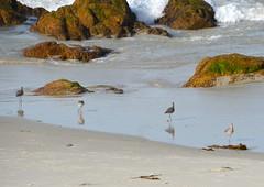 DSC_0259 (afagen) Tags: california pacificgrove asilomarstatebeach montereypeninsula asilomar beach pacificocean ocean bird