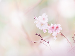 Cherry blossoms in autumn (Tomo M) Tags: nature ジュウガツザクラ cherry autumn pastel light soft bokeh dreamy 横浜イングリッシュガーデン