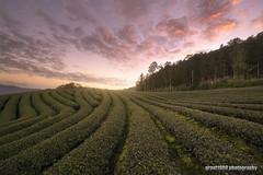 Dawn at Tea Plantation (grant1980:)) Tags: dawn tea plantation morning glow 茶園