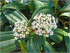 Viburnum Shrub .. (** Janets Photos **) Tags: ukplants flowers flora shrubs bushes viburnum greenleaves macro pov closeups