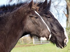 Mother's Pride (Céanndhubahn) Tags: abigfave blackclydesdales horses scotland coltanddam motherandson clydesdale