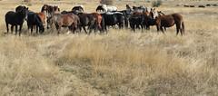 Amirosso Grosso (Amir Guso) Tags: gallopinghorses galoppierendepferde galpokonja horse pferde reiten wildpferde wild horses dzikie konie лошади коні 野生の馬 chevaux jesen herbst trava novembar divljina zdrijebe hengst stute wildnis wilderness désert fohlen жеребенок poulain foal stallion étalon pâturage pašnjak pasture weide nevada pferdereiten ridehorses ridingwildhorses wildepferdereiten galop herde herd