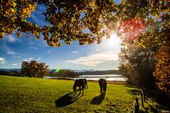 moody sunlight (lichtauf35) Tags: lightsandshadows framed leafs ostersee bavaria landscape horse intothelight mood sunshine 24l 5dmk2 lightroom acdsee flares derzeitaugenblickestehlen 50favs 3000views lichtauf35