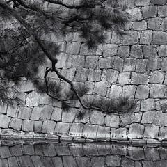 Nijo castle pine (Tim Ravenscroft) Tags: nijo castle pine wall moat reflection kyoto japan hasselblad hasselbladx1d monochrome blackandwhite blackwhite