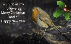 Merry Christmas Robin (Tony Smith Photo's) Tags: wildlife bird christmas robin nature winter wild red animal cute design card isolated branch tree greeting natural background holiday feather redbreast new xmas season breast berry happy beautiful beak songbird merry perched festive wilderness seasonal erithacusrubecula december celebration holly perch christmascard forest colour britishbird holidaysandcelebrations robinbird greetingcard newyear wintertime gardenbird robinredbreast smallbird ukbird christmasrobin winterrobin wildbird colourfulbird birdwatching birdportrait rubecula
