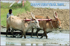 8435 - Happy new year 2019 (chandrasekaran a 55 lakhs views Thanks to all.) Tags: newyear greetings happy 2019 bulls ploughing agriculture farmer kanchipuram tamilnadu india nature canoneos80d tamronsp150600mmg2