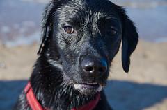 Izzy portrait (stumpyheaton) Tags: izzy dog d5100 day beach sea sand black labrador retriever formby 2018 outside october wet irish nikon 18200