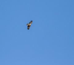 Alone In The Blue Sky (John Kocijanski) Tags: immaturebaldeagle baldeagle eagle bird birdofprey animal sky wildlife nature canon400mmf56 canon7d