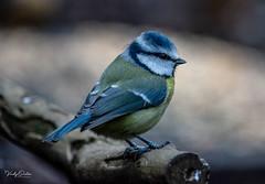 Blue tit. (vickyouten) Tags: bluetit wildlife britishwildlife wildlifephotography nature naturelovers naturephotography nikon nikond7200 nikonphotography nikkor55300mm penningtonflash leigh uk vickyouten