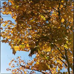 Autumn Intermission VII (__Daniele__) Tags: autumn fall leaves herbst 6x6 120 80mm 160 konica minolta hasselblad 500cm medium format mittelformat sredni expired 2003 analogue analog film carmencita lab