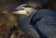 Bright Eye (Parris Photography) Tags: heron greatblueheron bombayhook delaware parrisphotography