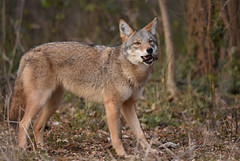 Eastern Coyote (aj4095) Tags: coyote canid animal nature wildlife ontario canada outdoor december nikon