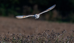 Barn Owl Hunting (Steve (Hooky) Waddingham) Tags: stevenwaddinghamphotography animal countryside coast canon bird british barn nature northumberland flight hunting wild wildlife prey owl ngc