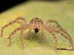 PC253439 (Atul Vartak) Tags: ambaghat spiderindia 3rdspiderindiameet diversityindia sparassid sparassidae huntsman