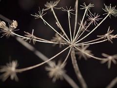 Ausgetrocknet (photohml) Tags: faded verblüht ausgetrocknet makro macro nahaufnahme photograf outside olympus zuiko 50mm e620 dof depthoffield schärfentiefe fourthirds ft 43 oly olympuse esystem dslr spiegelreflex mzuiko 5020 nature natura natur pflanze winter
