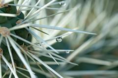 Needles within Needles! (alitay) Tags: amongtheneedles arizona cactus cactusofarizona catalina cholla drop droplet flora golderranch kindsmacro macrolove macronature macrophotography needles prickly reflection santacatalinamountains sonorandesert southernarizona water waterdrop waterdroplet