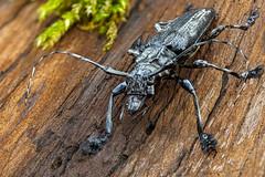 Cacao beetle (andredekesel) Tags: cacaobeetle cerambycidae coleoptera cacao theobroma bolivia stagedinsects sonya7r3 fe2890macrogoss