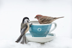 Sharing a Cup (dshoning) Tags: birds cup chickadee housefinch winter snow january iowa