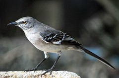 Mockingbird (ACEZandEIGHTZ) Tags: closeup nikon d3200 florida state gray birdwatcher backyard mimuspolyglottos bokeh passerine coth5 sunrays5