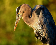 Anticipation (dianne_stankiewicz) Tags: nature wildlife bird heron greatblueheron anticipation trees green bokeh feathers portrait coth5