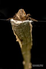 Lynx spider (Hamataliwa sp.) - DSC_0610 (nickybay) Tags: singapore mandaitrack7 mandai macro hamataliwa oxyopidae eggsac
