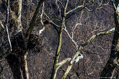 2019.03.17.7129 Eagle Leaving Nest (Brunswick Forge) Tags: 2019 virginia winter spring eagle eagles baldeagle raptor bird birds animal animals animalportraits outdoor outdoors nikond500 nikon200500mm nature wildlife botetourtcounty air sky grouped favorited