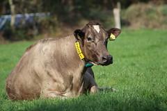 Delta  Finola Cadence (excellentzebu1050) Tags: dairycows livestock cow cattle closeup farm dairyfarm animal animalportraits grass outdoor coth5