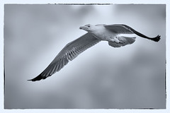 Goéland Black and White (thierrybalint) Tags: oiseau bird goéland gull oiseaudemer nb bw noiretblanc blackandwhite nikon nikoniste balint thierrybalint gabian