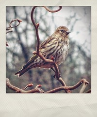 Pine Siskin Perched Near Our Bird Feeders | January 21st, 2019 (steveartist) Tags: pinesiskin birds songbirds snapseed sonydscwx220 treebranches buds bokeh instantapp overcastsky stevefrenkel fakepolaroid