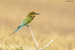 # Blue-tailed Bee-eater............... (Dr Prem K Dev) Tags: blue bird beautiful brilliant bokeh bg black tail tack beeeater red white wonderful wild woodland inland india kancheepuram mamandur common colourful composition glint green pose pleasing perched nature