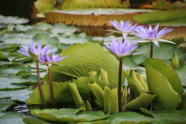 Обои листья, цветы, цветение, водяные лилии картинки на рабочий стол, раздел цветы - скачать