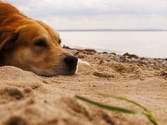 Dog Beach Bokeh - Fehmarn - Schleswig-Holstein - Germany (torstenbehrens) Tags: dog beach bokeh fehmarn schleswigholstein germany olympus e520