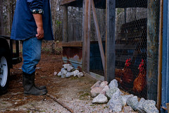 Hector Buitrago, 64, a retiree from Colombia stands with his chickens on HEMI Blueberry Farm in Greensboro, Georgia. Buitrago splits his time between retired life in Atlanta and farming in Greensboro.