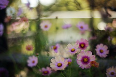Untitled (けんたま/KENTAMA) Tags: cosmos flower autumn flora planart1450 eos6d bokeh f14 コスモス 秋