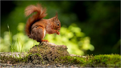 Cute Red Squirrel (Gertj123) Tags: animal hide holterberg arjantroost mammals eating red nature netherlands sigma120300mmf28 spring canon tail