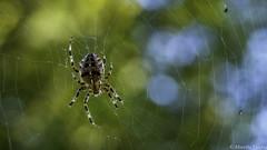 Elle arrive !!! Chez vous !!! (musette thierry) Tags: araignée capture musette thierry d800 animaux macro insecte suivre falowme