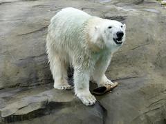 Happy Polar Bear Noria *2015-11-21  ❤ (BrigitteE1) Tags: noria eisbär bear polarbear zoorostock deutschland germany geotagged 北极熊 medvědlední oursblanc ijsbeer белыймедведь シロクマ raubtiere carnivora gefährdet bären ursidae female ursusmaritimus polarbär vulnerable predator specanimal
