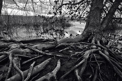 Roots Run Deep B+W (PNW-Photography) Tags: howardamon howardamonpark richland washington nature trees tree tricities roots root waterscape water reflection