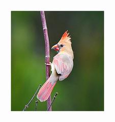 Female Northern Cardinal (George McHenry Photography) Tags: birds songbirds cardinal northerncardinal southcarolinabirds southcaroina