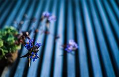 rindo dance (N.sino) Tags: m9 summilux50mm stripe rindo bonsai showakinenpark リンドウ 竜胆 盆栽 しましま ストライプ フェンス