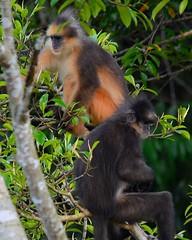 Presbytis melalophos (budsk) Tags: sigma150500mm surili monkey langur