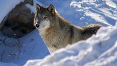 Winter Wolf (Bill G Moore) Tags: naturephotography billmoore wolf animal wild wildlife illinois canon winter snow