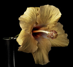 Orange Hibiscus Flower With Side Lighting (Bill Gracey 23 Million Views) Tags: hibiscus orange fleur flower flor floralphotography nature naturalbeauty macrolens sidelighting yongnuo yongnuorf603n griddedsoftbox softbox filllight homestudio blackbackground color colorful malvaceae